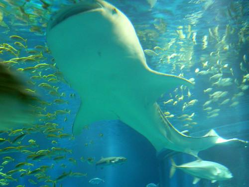 whale shark attack. Whale Shark at the Osaka