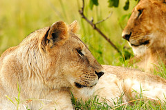 The Opposition (| HD |) Tags: africa family 20d animal canon kenya wildlife lion safari hd darwish hamad wwwhamaddarwishcom