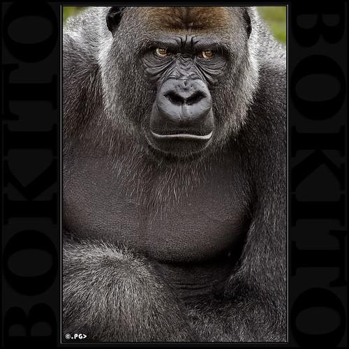 Bokito Gorila