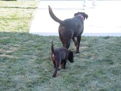 Chocolate Pups: Dakota leading Cheyenne