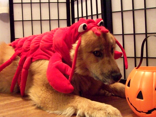 Cordy being eaten by a lobster