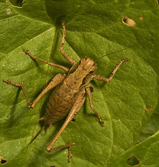 "Dark Bush Cricket (pholidoptera griseoaptra) • <a style=""font-size:0.8em;"" href=""http://www.flickr.com/photos/57024565@N00/1810312196/"" target=""_blank"">View on Flickr</a>"