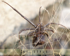Moftrresa (H  F  -  S  T  Y  L  E) Tags: black nature spider natural hf