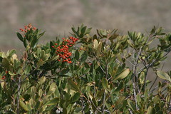 Autumn Red (buster/ken) Tags: baylands toyon