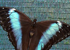 captured morpho with shimmering wings, showing his innocence by iridescence (e) Tags: reflection net butterfly ilovenature metallic shade tropic morpho iridescence interference shimmering shimmer weerschijn kwadendamme iriscerend