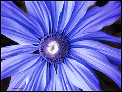 Powder Blue Tuxedo (ecstaticist) Tags: flower color macro photoshop bravo kyoto pear flaming magicdonkey diamondclassphotographer bratanesque