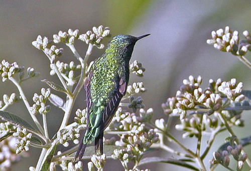 Green-tailed Trainbearer, male