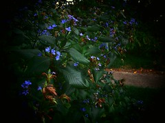 Rhapsody in Blue (Chris C. Crowley- grieving and recovering) Tags: catchycolors rhapsodyinblue christiansingles yourworldonlycolorfulpictures datacline onlythebestare freezonenorules coloredpetals sugarmillgardenstiggerslair darkvignettes
