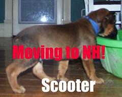 Scooter (muslovedogs) Tags: dogs puppy mastweiler zeusoffspring myladyoffspring