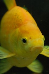 Vic the Goldfish