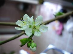 (Red~Hope) Tags: garden gardening plum fruittree plumtree april08