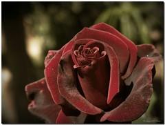 Crimson velvet / Terciopelo carmesí