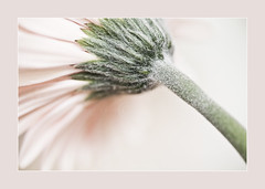 Pale into Insignificance (dougchinnery.com) Tags: pink light copyright white plant flower macro green studio bright doug flash rear border pale gerbera frame daisy bloom romantic highkey delicate beneath pinkish daisey worksop chinnery thefatcat44
