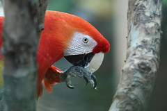 Macaw (country_boy_shane) Tags: trees red usa birds animals canon nose zoo flying oak eyes feeding bokeh michiga