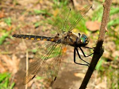 dragonfly (Artist Naturalist-Mike Sherman) Tags: photo dragonfly michigan naturephotography midmichigan chippewanaturecenter midlandcounty