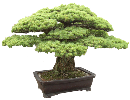 bonsai_tree
