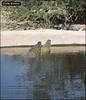 Crocoloco-IZE-276 (Zachi Evenor) Tags: zachievenor israel crocoloco crocolocofarm crocodilefarm crocodiliansfarm crocodile nilecrocodile crocodylusniloticus crocodylus niloticus crocodilia crocodilians haarava riftvalley צחיאבנור ישראל קרוקולוקו חוותקרוקולוקו חוותתנינים חוותתנינאים תניןהיאור תנין היאור תנינים קרוקודיל קרוקודילים תנינאים הערבה 2017 hatzeva 20170221 הזדווגות מזדווגים תניניםמזדווגים mating matingcrocs matingcrocodiles crocs