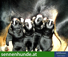 dog with puppies flea treatment