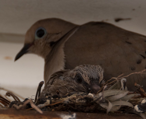 Mom and Chick Mourning Dove