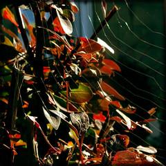 Silk Streams In The Sun (Mary Adrenaline) Tags: macro nature square scotland spiderweb silk redgreen naturalpatterns spidersilk maryad