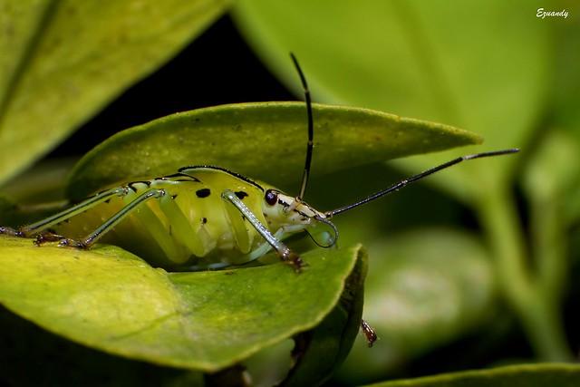 Pentatomoidea aka stink bug