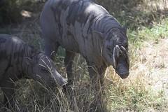 Chester Zoo IMG_2141JULY 2006-01 (woodfold) Tags: bear elephant animals zoo tiger lion rhino zebra chesterzoo