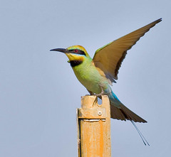 Rainbow Bee-eater (scuze a me) Tags: nature watcher naturesfinest rainbowbeeeater featheryfriday mywinners flickrdiamond