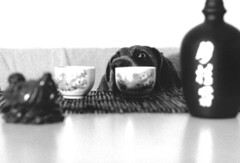 2 too many (saikiishiki) Tags: blue portrait dog white black love film k drunk analog darkroom grey asahi pentax k1000 gray sake weimaraner analogue  1000  weim greyghost bwfilm  squidoo blueweimaraner weimie chanhi weimaranerart  bwphotogragh handdevelopedfilm handdevelopedbwprint handdevelopedbwphotograph handdevelopednegative waimarana blueweim weimaranerartist weimaranerphotography weimaranerphotographer saikiishiki