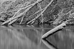 Fallen Tree in Water - 001 (themikepark) Tags: bw lake tree nature landscape michigan grayscale 32 001 hines project365 amazingmich