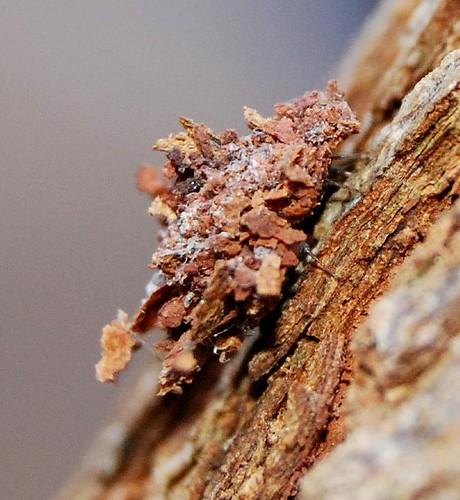 Different Jumblebug