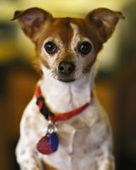 Spread Out Now, Rosie (Bill Adams) Tags: waimea kamuela hawaii bigisland lalamilo kawamatafarms rosie dog chihuahua canonef85mmf12liiusm youtubr youtube rosalita brucespringsteen explore