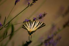 Farfalla (franz75) Tags: flowers france flower nikon lavender provence fiori fiore francia provenza lavanda f55 wowiekazowie
