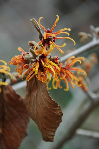 Hamamelis x intermedia 'Jelena' (without flash)