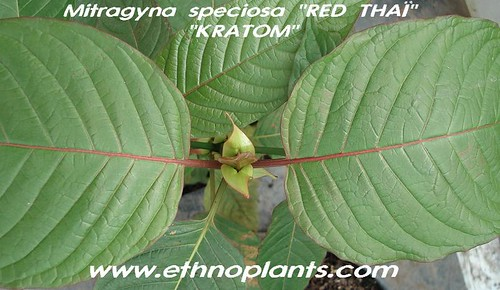 mitragyna speciosa  mitra specio red_thai04 picture photo bild