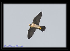 PEREGRINE FLYING OVER (spw6156) Tags: copyright lens flying woods hand steve over 100 mm held nationaltrust falcons raptors waterhouse peregrine plymbridge cannquarry spw6156 stevewaterhouse plymperegrineproject plymbridgeperegrinefalcons copyrightstevewaterhouse