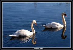 swans on leybourne lake kent (stevekeat images best viewed large) Tags: lake nature water birds kent wildlife swans leybourne leybournelakes blueribbonwinner snodland larkfield natureunlimited