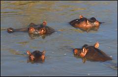 kenia_291 (respiraelviento) Tags: hippo kenia masaimara hipopotamo