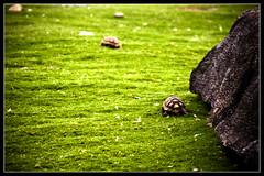 corro tan rpido como puedo, pero no puedo alcanzarte!!!! Abuelo!!!! (tom )() Tags: verde green argentina canon buenosaires tag1 turtle safari pasto tortuga piedra tomd safariba temaiken xti 400d safaribatemaiken tomduca caparazonmordido