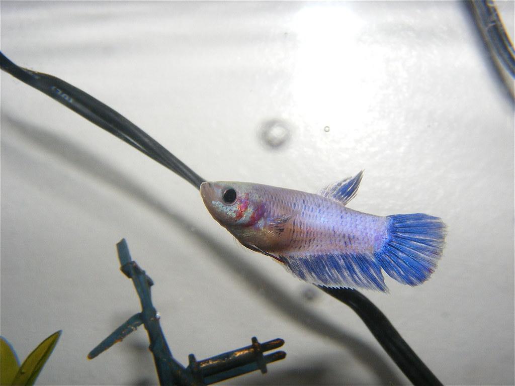 Day 89/366 - my new female Betta fish