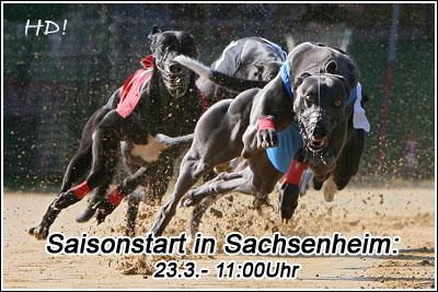 Greyhounds in Sachsenheim