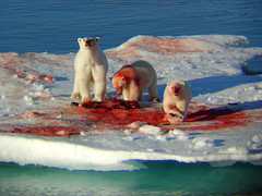 Greenland - Polar Bears (Olof S) Tags: greenland polarbear ice water sea animal anawesomeshot theunforgettablepictures specanimal aplusphoto superaplus environment view see sauvage wasser eau aqua landscape arctic bear isbjrn interesting landskap manzara nature wildlife natura paysage mywinners picture natur photography landscapes