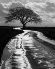 Arlescott beech (geoffspages) Tags: monochrome landscape geotagged shropshire umbrellatree geo:lat=526031 geo:lon=2511964