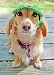 Honey in Deere cap (Doxieone) Tags: dog cute green english hat interestingness long cream dachshund explore deck honey blonde exploreinterestingness haired deere mostpopular coll ggg 1002 longhaired honeydog explored englishcream honeyset