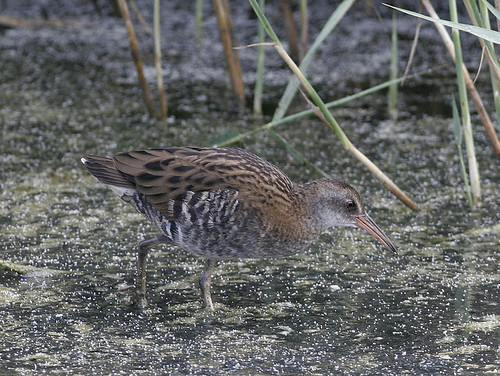 Water Rail, subadult nominate by Pia's birdseye view.