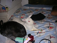 DSCN4685 (delilah84) Tags: bunnies animals guinea pig cavy rabbits animaux rodents fritz animali aku suria ronja conigli porcellino lapins cavia lagomorphs rongeurs roditori peruviano lagomorfi