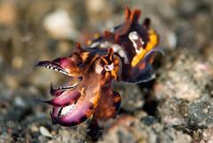 Flamboyant cuttlefish 3/4 (Metasepia pfefferi) (Arne Kuilman) Tags: sepia cuttlefish muck fins lembeh nightdive inktvis jahir muckdiving aposematiccoloration flamboyantcuttlefish metasepiapfefferi muckro hanaika inktvip