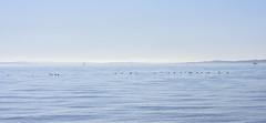 A Hyphenation in Blue (PhilDL) Tags: water waves sky blue springtime beauty beautiful calm birds geese horizon coastline southcoast february midfebruary 2017