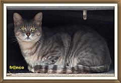Gatto (fr@nco ... 'ntraficatu friscu! (=indaffarato)) Tags: animale gatto cat tigrato soriano