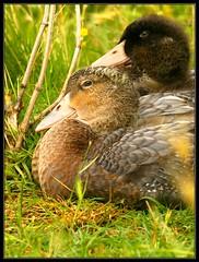 Mira pa ahi oh (edugafo) Tags: españa animal see duck spain foto pato mirar fotografia edu gafo edugafo