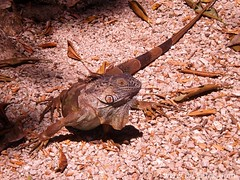 Green Iguana - Iguana iguana (Dis da fi we (was Hickatee)) Tags: forest rainforest reptile belize wildlife culture toledo jungle iguana puntagorda iguanaiguana greeniguana hickatee pondslider hickateecottages hickateepuntagorda